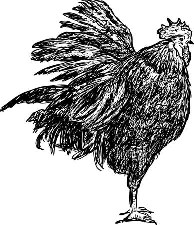 Sketch of a disheveled cock