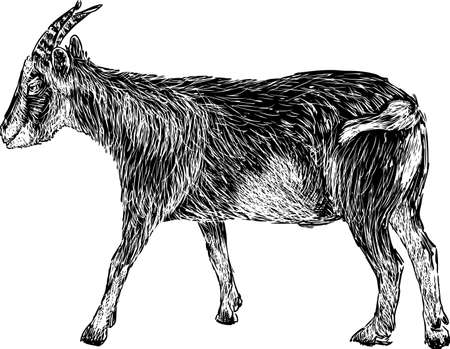 Vector drawing of a black goat