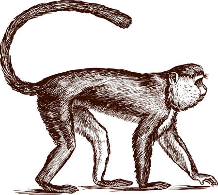 Vector drawing of a striding monkey isolated on white background.
