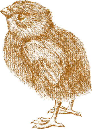 Sketch of a newborn chick Illustration