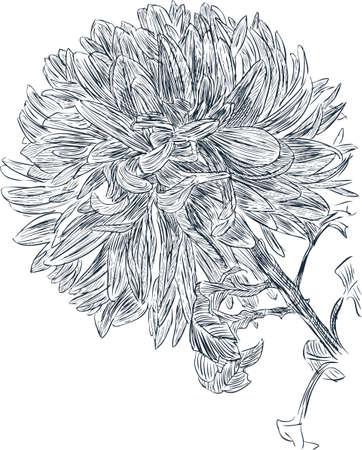 Sketch of a garden chrysanthemum