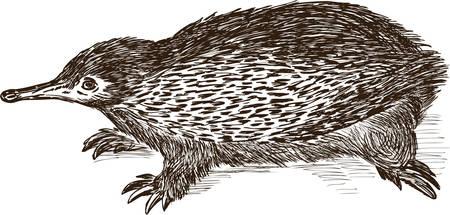 Vector drawing of an australian echidna