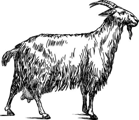 Sketch of a domestic goat