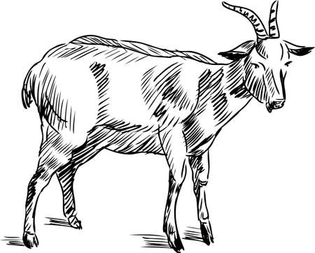 Vector drawing of a domestic goat