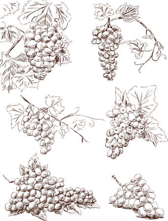 Sketches of the ripe grape clusters Illustration