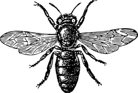 Vector drawing of a big fly