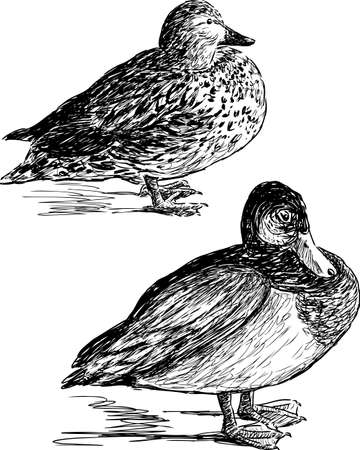 Sketches of the wild ducks Illustration