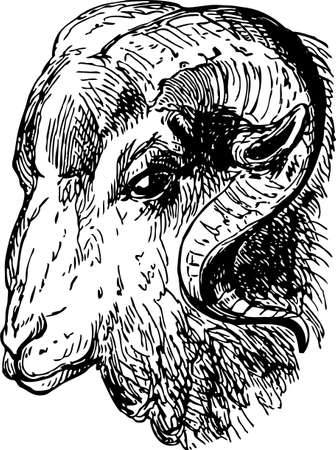 Sketch of the head of a wild ram.