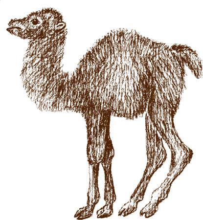 Image of a baby camel.