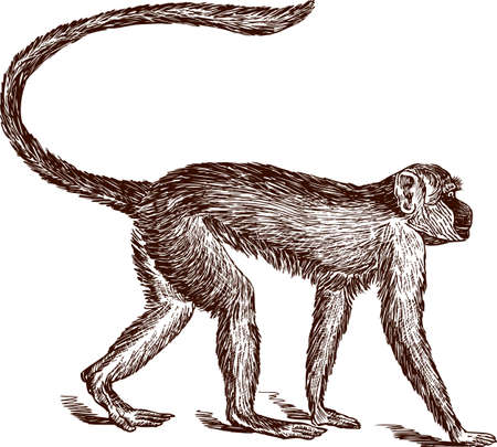 Vector drawing of a striding monkey