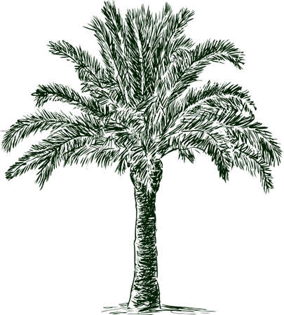 Sketch of a tropical palm tree