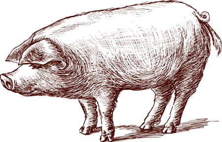 sketch of a eared pig