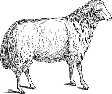 Drawing of a white sheep