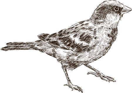 Vector drawing of a city sparrow