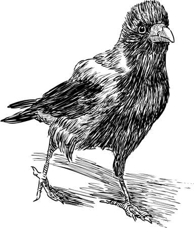 Vector drawing of a walking crow Illustration