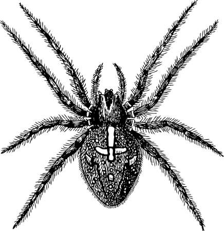 Vector drawing of a big poison spider
