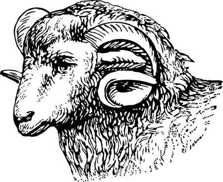 Vector drawing of a sheep head. Illustration