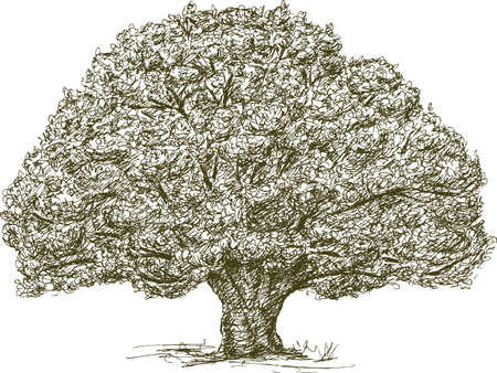 Old oak tree.Vector drawing.