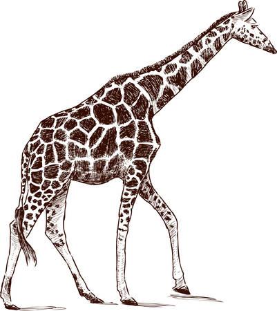 Sketch of  giraffe