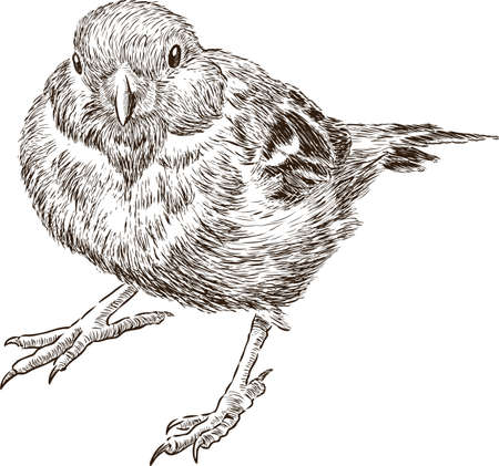 Hand drawing of an urban sparrow