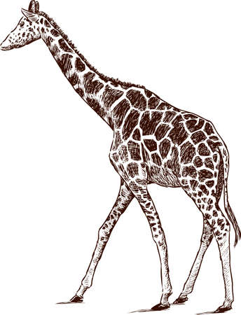 Image of a young giraffe