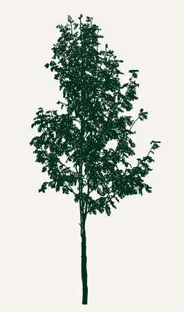 Vector image of a small rowan tree