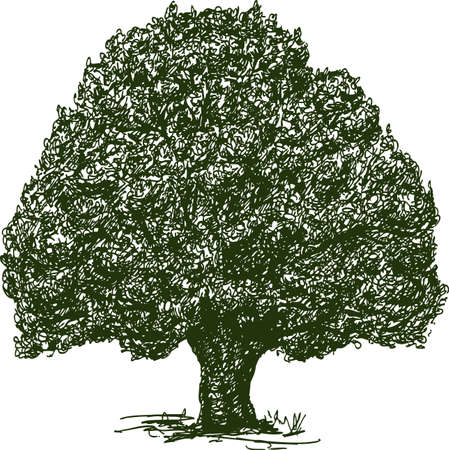 Hand drawing of an old oak tree