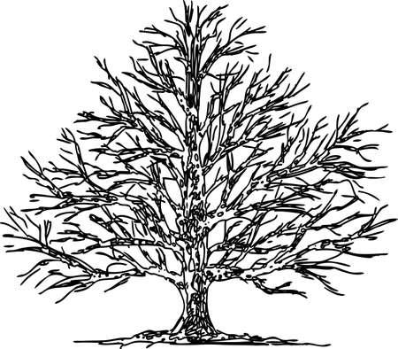 Hand drawing of an oak tree in winter