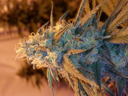 Flowering Marijuana Plant in Flowering Stage Stock fotó