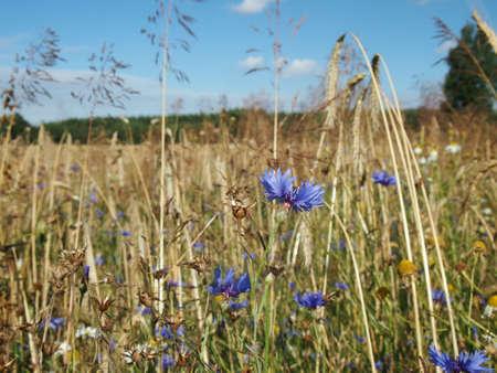 cornflower: wheat field with cornflower