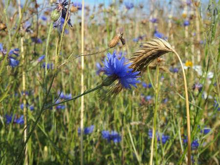 cornflower: Cornflower with CORN Stock Photo