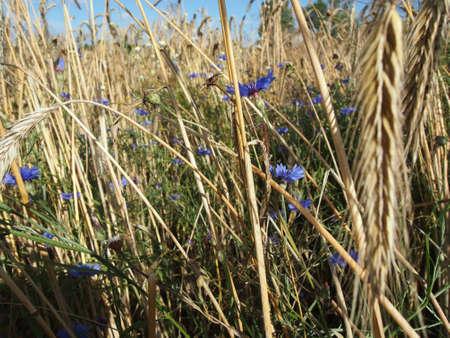 fiordaliso: Campo di grano con Fiordaliso