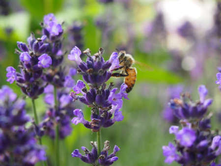 blte: Lavender with bee in summer