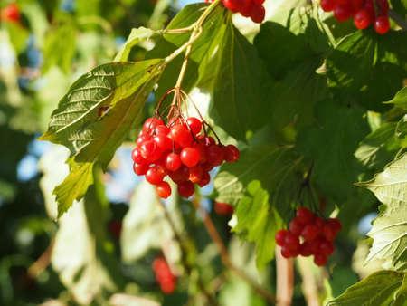 eberesche: rowan berry Lizenzfreie Bilder