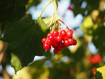 berry: rowan berry Stock Photo