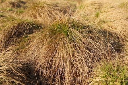 scrub grass: closeup of grass clump