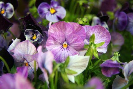 violas: closeup of violas or pansies
