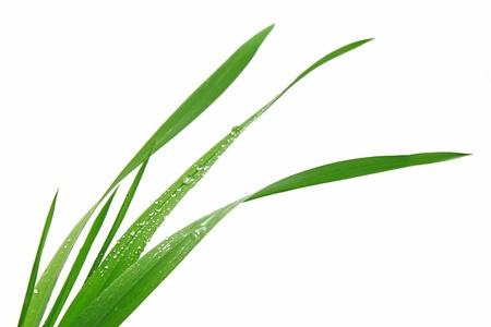 grass blade: Blade of grass on white background