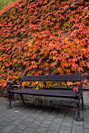 Wooden bench and red ivy covered wall photo