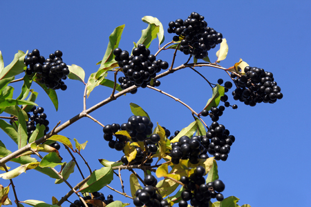 elder tree: Branch with the bird cherry  Prunus padus