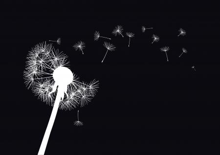 white dandelion loosing his integrity on wind- black background