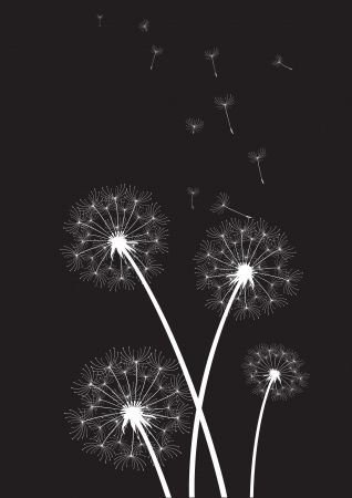 overblown: group of white dandelions on black background  Illustration