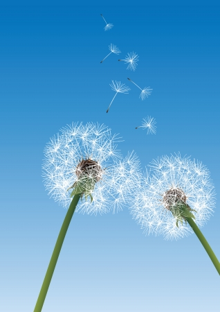 overblown: two dandelions on blue background with flying seeds