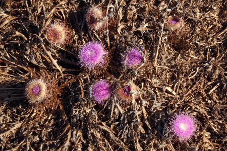 mariano: closeup of thistle flowers
