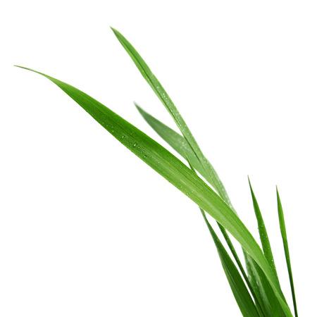 grassprietje op een witte achtergrond Stockfoto