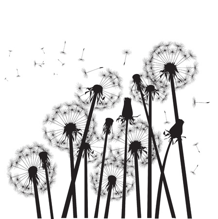 overblown: group of black dandelions on white