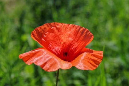 poppy flower: closeup of poppy flower