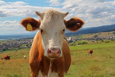 vacas lecheras: primer plano de la vaca en el prado verde