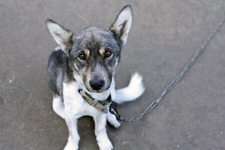 perro asustado: perro triste en una cadena Foto de archivo