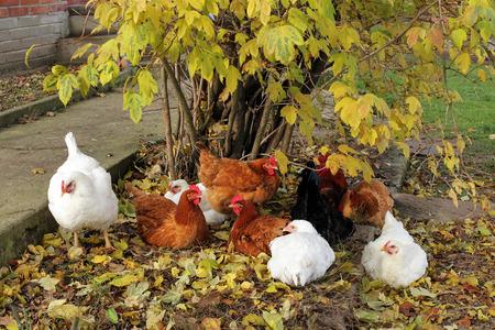 free range: free range happy chickens Stock Photo